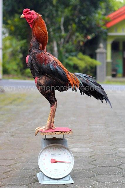 ayam-aduan-ukuran-jumbo