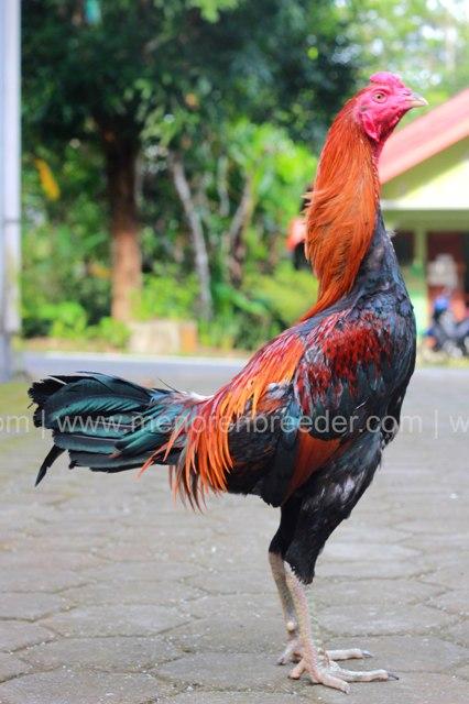 ayam-birma