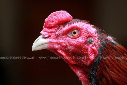 kepala-ayam-adu
