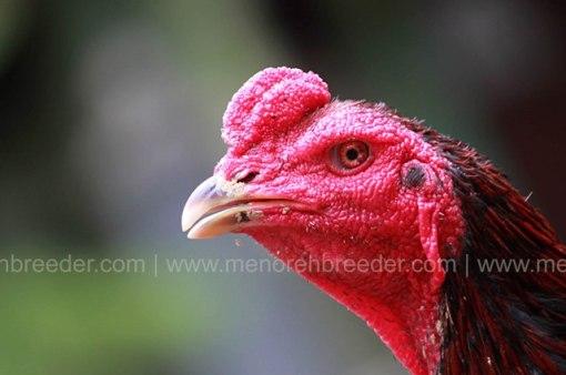 kepala-ayam-aduan