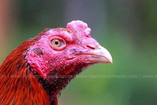 kepala-ayam-mathai