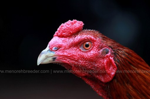 kepala-ayam-sadis