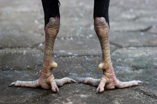 sisik-kaki-ayam-aduan-birma