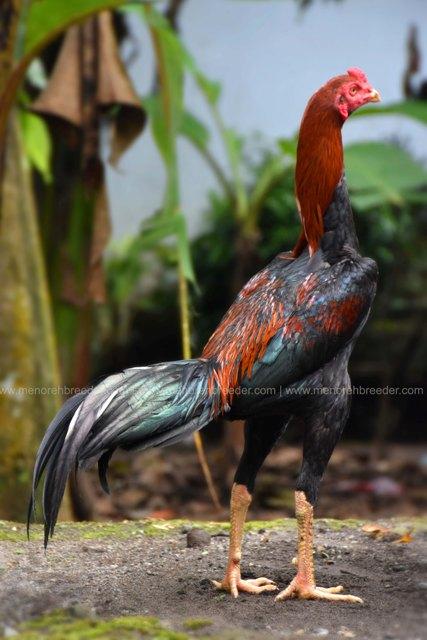 ayam-aduan-muda
