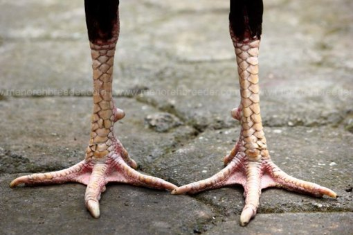 kaki-ayam-aduan-super