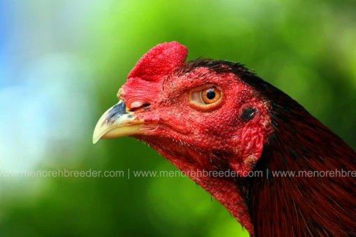 kepala-ayam-juara
