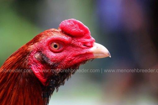 kepala-ayam-super