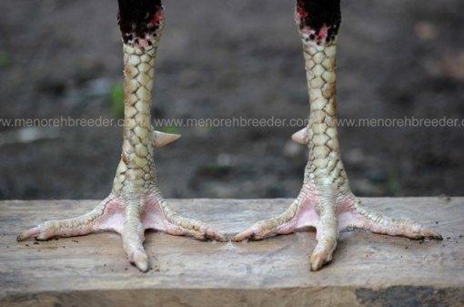 sisik-kaki-ayam-pukul-jalu