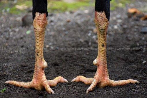 sisik-kaki-naga-temurun