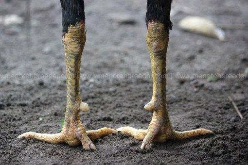 sisik-kaki