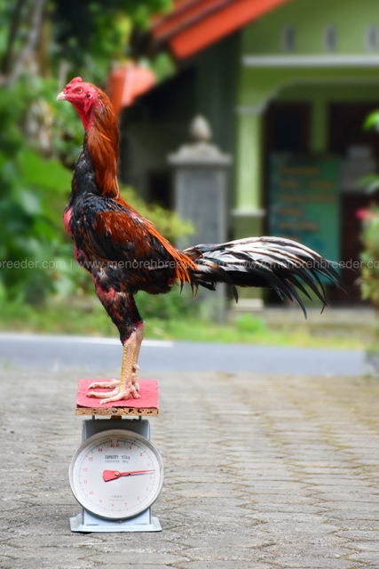 berat-ayam-aduan