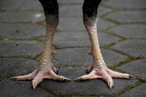 kaki-ayam-birma