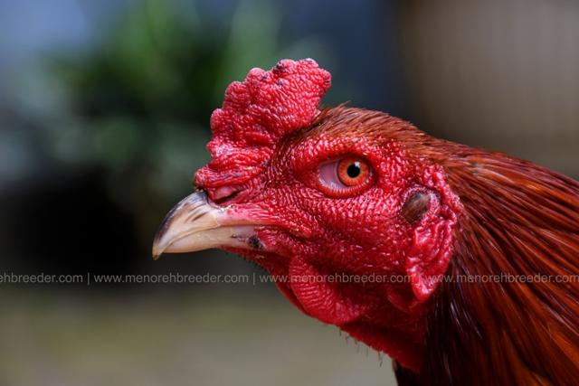 kepala-ayam-kejam