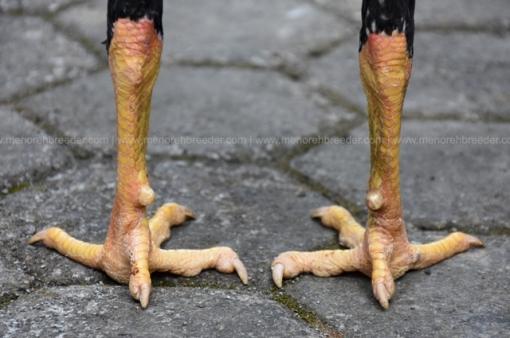 sisik-kaki-ayam-adu