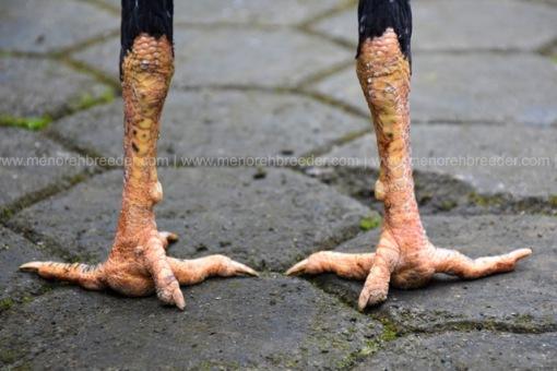 sisik-kaki-ayam-muda