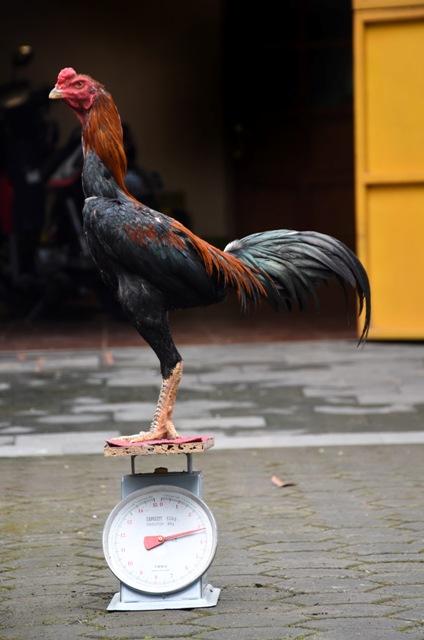 ukuran-ayam-aduan