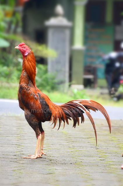 ayam-muda-super