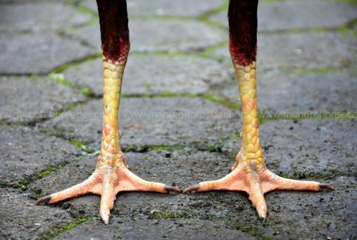 kaki-ayam-aduan