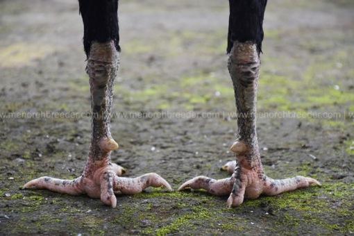 kaki-ayam-istimewa