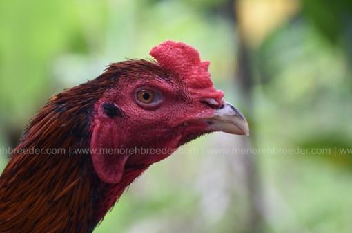 kepala-ayam-aduan-muda