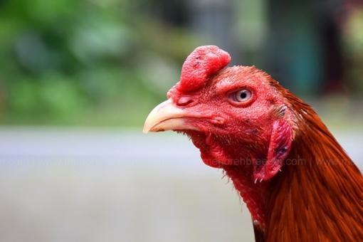 kepala-ayam-birma