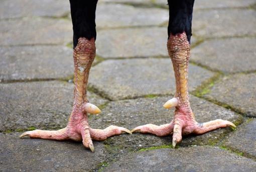 sisik-kaki-ayam-aduan