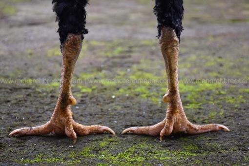 sisik-kaki-ayam-juara