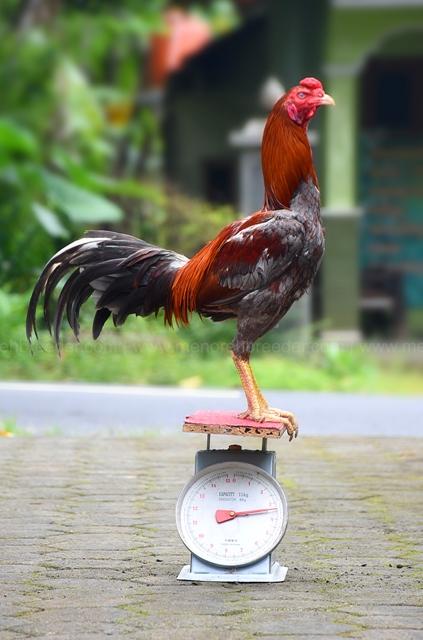 ukuran-ayam-adu