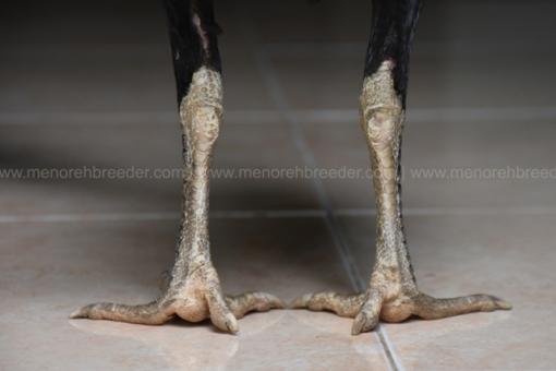 sisik-kaki-2