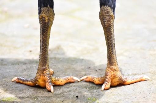 sisik-kaki-dara