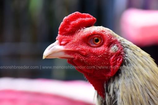 kepala-ayam-adu-birma