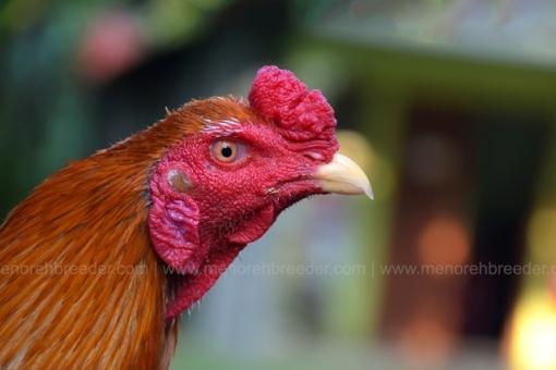Ayam Aduan Bangkok Super Harga Murah Ternakan Berkualitas
